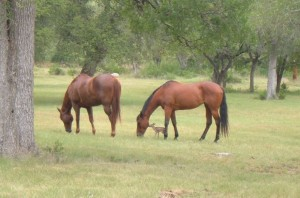 horses and fawn 1