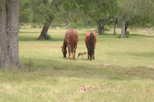 horses and fawn 2